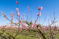 Cultivated fields of peach trees treated with fungicides Royalty Free Stock Image
