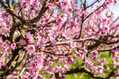Cultivated fields of peach trees treated with fungicides Stock Photography