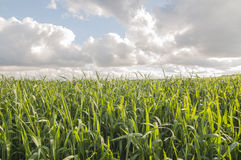 Cultivated fields series 01 Royalty Free Stock Images