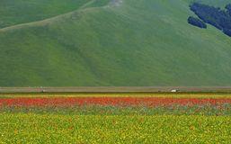 Cultivated and flowery fields of Castelluccio di Norcia. Karst plan with Sibillini mountains in background royalty free stock image