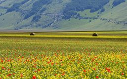 Cultivated and flowery fields of Castelluccio di Norcia royalty free stock image