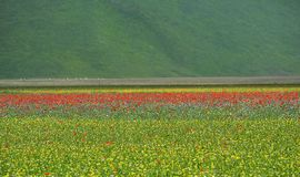 Cultivated and flowery fields of Castelluccio di Norcia. Karst plan with Sibillini mountains in background stock image