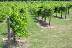 Cultivated Grapes Stock Photo