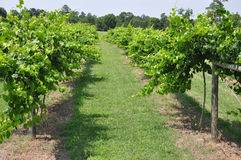 Cultivated Grapes Stock Image