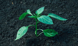 Cultivated green plant Stock Photography