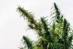 Cultivated hemp in field royalty free stock images