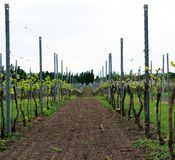 Cultivated land between two lines of young grape plants in vineyard stock photos