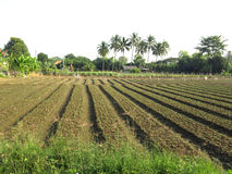Cultivated land. Young flower bed rows with coconut tree background Stock Photography