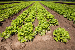 Cultivated lettuces Royalty Free Stock Photo