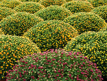 Cultivated manicured chrysanthemum houseplants Stock Image