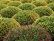 Cultivated manicured houseplants del crisantemo Imagen de archivo