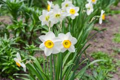 Cultivated narcissus with white petals and yellow cup-shaped corona. Flowering cultivated narcissus with white petals and yellow with orange cup-shaped corona in royalty free stock photos