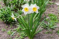 Cultivated narcissus with white petals and yellow cup-shaped corona. Group of the flowering cultivated narcissus with white petals and yellow with orange cup royalty free stock photography