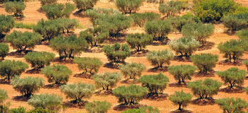 Cultivated Olive trees Stock Photos