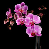 Cultivated orchid closeup over black background - square crop Stock Images