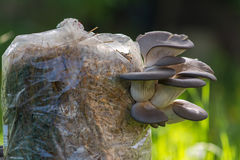 Cultivated oyster mushrooms. Pleurotus - on cultivation bags Royalty Free Stock Image