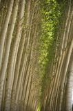 Cultivated poplar trees. Royalty Free Stock Photography