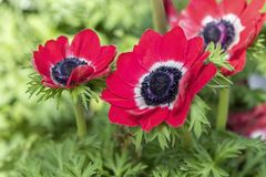 Cultivated poppy in the garden. A cultivated poppy in the garden stock photos
