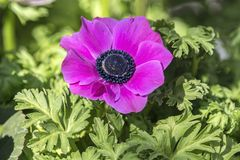 Cultivated poppy in the garden. A cultivated poppy in the garden royalty free stock photo