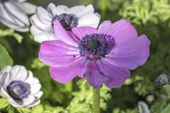 Cultivated poppy in the garden. A cultivated poppy in the garden stock photo