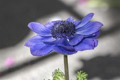 Cultivated poppy in the garden. A cultivated poppy in the garden royalty free stock images
