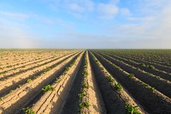 Cultivated potato field Stock Photos