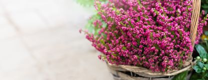 Cultivated potted pink calluna vulgaris or common heather flowers in sunlight, banner. Toned stock images