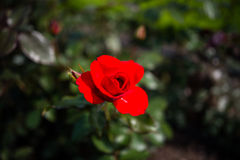 Cultivated red summer rose Royalty Free Stock Image