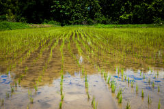 Cultivated rice field in Thailand Stock Image