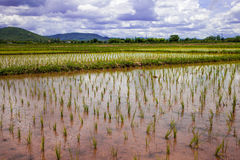 Cultivated rice field in Thailand Royalty Free Stock Photos