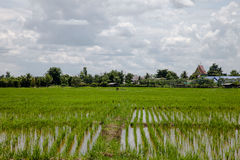 Cultivated rice field in Thailand Stock Photography