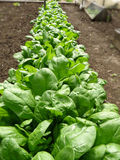 Cultivated row of lettuces Royalty Free Stock Photo
