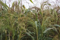 Cultivated sorghum field. Close up of cultivated sorghum field ready to harvest royalty free stock images