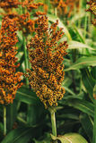 Cultivated sorghum field Stock Photography