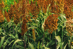 Cultivated sorghum field Royalty Free Stock Photography
