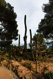 Cultivated species of Cylindropuntia and saguaro cactuses Royalty Free Stock Image