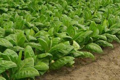 Cultivated Tobacco 07 Royalty Free Stock Photography