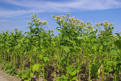 Cultivated Tobacco 12 Royalty Free Stock Photography