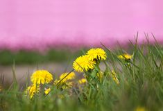 Cultivated tulips and dandelions Royalty Free Stock Images