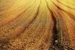 Cultivated vegetable field Stock Photos