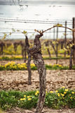 Cultivated vines in a spring vineyard royalty free stock photos