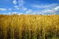 Cultivated wheat field under blue sky with clouds. In Germany royalty free stock photo