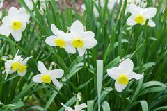 Cultivated white narcissus with yellow tcup-shaped corona in center. Flowers of the cultivated narcissus with white petals and yellow cup-shaped corona in the royalty free stock photos