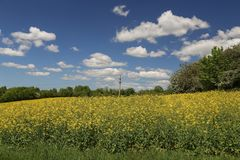 Cultivated yellow colorful raps field in Germany.  stock photos