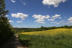 Cultivated yellow colorful raps field in Germany.  royalty free stock photography