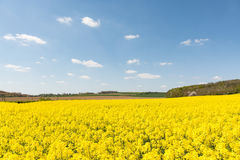 Cultivated yellow raps field in France. Cultivated colorful raps field in France Normandy Royalty Free Stock Image