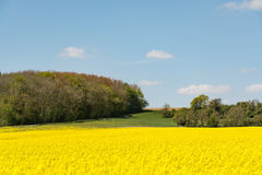 Cultivated yellow raps field in France. Cultivated colorful raps field in France Normandy Royalty Free Stock Photos