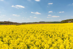 Cultivated yellow raps field in France. Cultivated colorful raps field in France Normandy Royalty Free Stock Photo