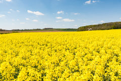 Cultivated yellow raps field in France. Cultivated colorful raps field in France Normandy Stock Photography