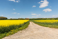 Cultivated yellow raps field and road in France. Cultivated colorful raps field in France Normandy Royalty Free Stock Images
